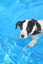 Dog In Pool Royalty Free Stock Photos - 2619538