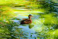 Swimming Duck Stock Photography - 26106252