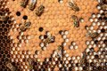 Larvae And Cocoons Of Bees Stock Photo - 26107780