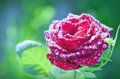 Flower Red Rose With Dew Drops Stock Images - 26108634