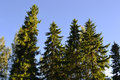 Tall Pine Trees Stock Images - 26113414
