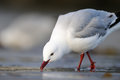 Red-Billed Gull Stock Images - 26113424