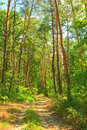 The Road Through The Pine Forest In The Morning Su Stock Images - 26114924