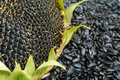 Ripe Sunflower And Seeds Royalty Free Stock Photo - 26117205