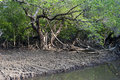 Mangrove Forest Stock Images - 26135334