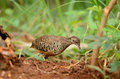 Male Barred Buttonquail Royalty Free Stock Photo - 26147055