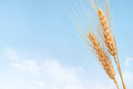 Wheat Royalty Free Stock Images - 26152709