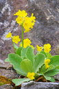 Primula Palinuri Royalty Free Stock Photo - 26154355