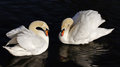 Two Swans Royalty Free Stock Photo - 26160995