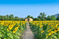 Cottage In Sunflower Field Royalty Free Stock Image - 26171056