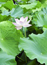 Pink Lotus With Bee Royalty Free Stock Photography - 26180887