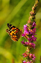 Painted Lady Butterfly (Vanessa Cardui) Stock Photos - 26184443