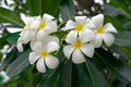Branch Of Tropical Flowers Frangipani For Spa   Ar Stock Image - 26186081