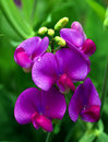 Sweet Pea Royalty Free Stock Photo - 2629505