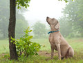 Weimaraner Dog Sitting Under A Tree Royalty Free Stock Images - 26200119