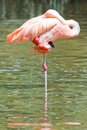 Flamingo In The Water Royalty Free Stock Photos - 26203408