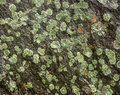 Lichen On Rock Royalty Free Stock Photography - 26207407