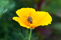 Bee On Yellow Flower Royalty Free Stock Image - 26215276
