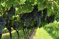 Wine Grapes Royalty Free Stock Photography - 26217337