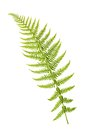 Fern Branch Stock Images - 26226364