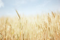 Wheat Field Stock Photography - 26233602
