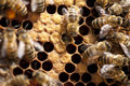 Bees Taking Care Of Bee-larva Stock Photo - 26238740