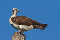 Osprey With Fish Stock Photo - 26242920