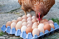 Layer Hen With Eggs Royalty Free Stock Photography - 26246737