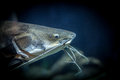 Red Tail Catfish Stock Photography - 26248742