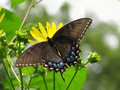 Black Swallowtail Butterfly On Yellow Flowers Stock Photo - 26275160