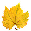 Grape Leaf Stock Photography - 26282242
