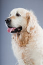 Old Golden Retriever Dog . Royalty Free Stock Photo - 26282675