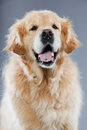 Old Golden Retriever Dog . Royalty Free Stock Image - 26282676