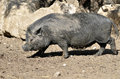 Vietnamese Potbellied Pig Royalty Free Stock Images - 26290979