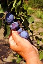 Plums Stock Image - 26313331
