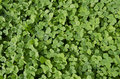 Carpet Of Clover Royalty Free Stock Image - 26314666