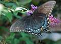 Black Female Swallowtail Butterfly Stock Photo - 26322120