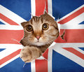 British Cat Looking Through Hole In Paper Flag Royalty Free Stock Image - 26328756