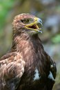 The Steppe Eagle (Aquila Nipalensis) - Portrait. Stock Images - 26353204