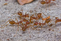 Red Ants Stock Photography - 26362252