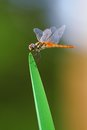 Dragonfly On Leaf Stock Photos - 26370413