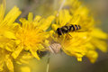 Hoverfly On Dandelion Stock Photo - 26380470