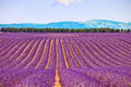 Lavender Flower Fields Trees Row. Provence Royalty Free Stock Image - 26380826