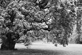 Black And White Big Lonely Oak Tree Stock Images - 26381524