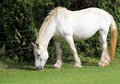 White Shire Horse . Royalty Free Stock Images - 26384019