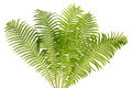 Fern Real Bush Isolated Royalty Free Stock Images - 26384209