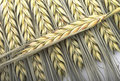Wheat Ears Royalty Free Stock Image - 26389696