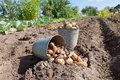 Harvesting Potatoes Royalty Free Stock Photography - 26390227