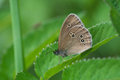 Ringlet Butterfly Royalty Free Stock Photos - 26391708