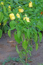 Yellow Pepper Plant Stock Photo - 26396400